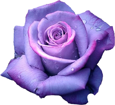 twin-flames-purple-rose-symbolism